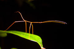 Stick Bug Stock Photo Image Of Antennae Legs Stench