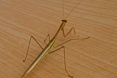 Stick Bug. Labelled the longest insect in the world with several other names. AKA: Stick insect, ghost insect, leaf insect, phasmatodea,phasmida, phasmatoptera royalty free stock photo