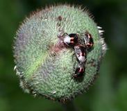 Stink Bugs On Poppy Bud Stock Photos
