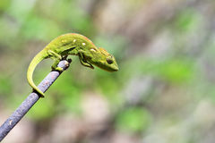 Stick chameleon Royalty Free Stock Image