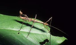 Stick insect. The stick insect is the Queen of camouflage Stock Photography