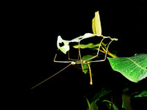 Stick insect. A stick insect sitting in a leaf Stock Photography