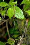 Stick insect. Phasmida, Tandayapa forest, Ecuador Royalty Free Stock Image