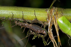 Stick insect. Phasmida, Amazon rainforest, Ecuador Stock Photos