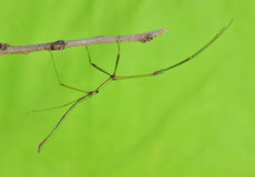 Stick insect. Green stick insect stay on branches stock photos