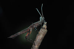 Stick insect. Resting on branches at night stock image