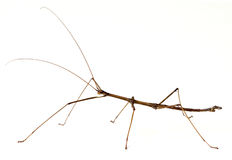 Stick Insect. Northern Walkingstick Insect (Diapheromera fermorata) on a white background Stock Image