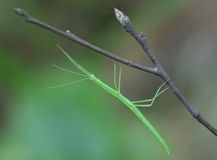 Stick insect Stock Photos
