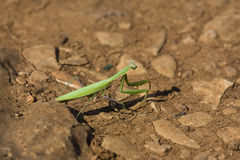 Stick insect. Walking through burnt ground Stock Photo