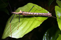 Stick insect. Amazonian stick insect on a leaf Royalty Free Stock Image