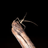 Stick insect on a branch Royalty Free Stock Images