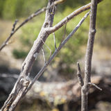 Stick insect camouflaged on a branch tree Royalty Free Stock Image
