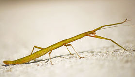 Stick insect Carausius morosus Royalty Free Stock Photography