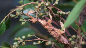 Stick insect stock video footage