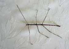 A stick insect crawling across a tablecloth Royalty Free Stock Photography
