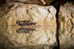 Stick insect. Golden-eyed stick insect peruphasma schultei  side view Royalty Free Stock Photography