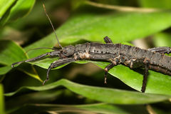 Stick insect in habitat Stock Images