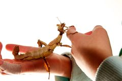 Stick insect on hands Royalty Free Stock Photos