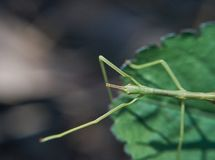 Stick Insect on Leaf - Reaching Out royalty free stock image