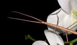 Stick insect on orchids Stock Photos
