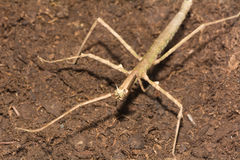 Stick insect - Phasmatodea Stock Photos
