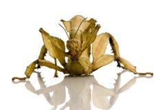 Stick insect, Phasmatodea - Extatosoma tiaratum Stock Image