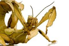 Stick insect, Phasmatodea - Extatosoma tiaratum Royalty Free Stock Photo