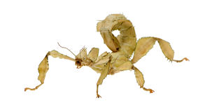 Stick insect, Phasmatodea - Extatosoma tiaratum Stock Photo