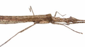 Stick Insect (Phasmatodea) male and female isolate on white back Stock Image