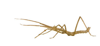 Stick insect, Phasmatodea - Medauroidea extradenta Stock Images