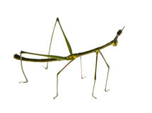Stick insect, Phasmatodea - Oreophoetes peruana Royalty Free Stock Photos