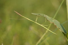 Stick Insect. This stick insect tries to blend in with it's surroundings Royalty Free Stock Image