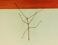 A stick insect in the tropics. A weird, slow-moving creature resembling twigs as seen on bequia in the windward islands Royalty Free Stock Photos
