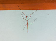 A stick insect in the tropics Royalty Free Stock Images