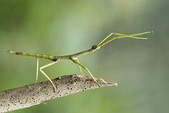 Stick insect, unique insect, beautiful insect. Stick insect on branch, unique insect stock photo