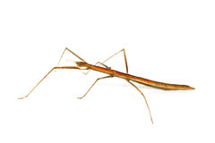 Stick insect on white background Royalty Free Stock Photos