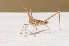 Stick insects in Pitsidia on Crete Royalty Free Stock Photos