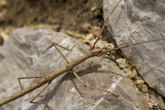 Stick insekt phasmatodea Stock Photos
