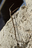 Stick insekt phasmatodea Stock Photo