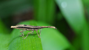 A Stick Looking Insect Stock Images