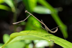Stick praying mantis Royalty Free Stock Image