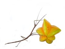 Stick and Star CARRY. Stick insect carrying a starfruit Stock Image