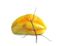 Stick and Star ROLL. Stick insect rolling a starfruit Stock Photos