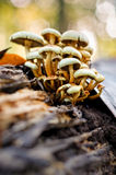 Stick Together. A family of Hypholoma mushrooms sticking together Royalty Free Stock Photography