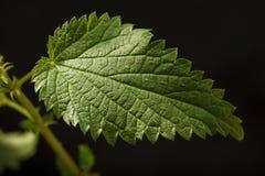 sticka för leafnässla Fotografering för Bildbyråer