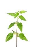 Sticka nässla (Urticadioicaen) royaltyfria foton