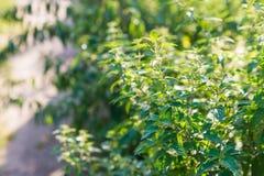 Sticka nässlan & x28; urticadioica& x29; växa i fältet wild växt Arkivfoto
