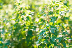 Sticka nässlan & x28; urticadioica& x29; växa i naturen Royaltyfri Bild