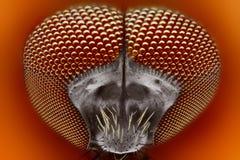 Stickande extremt kors för blackfly (Simuliidae)   Royaltyfri Fotografi