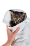 Stickande fram tunga för liten kattunge i flickans händer på vitbac arkivfoto
